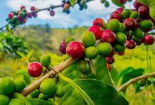 Hagelfront kan koffieprijs omhoog jagen