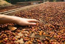 Historische droogte dreigt Braziliaanse koffieoogst van 2015 te verstoren