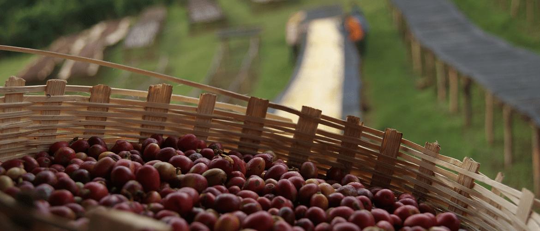Ethiopie Yirgacheffe koffiebessen