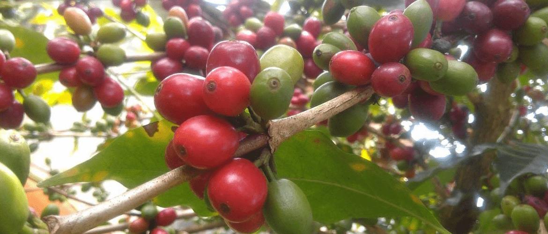 Kameroen-koffie-ontwikkelingsproject-koffiebessen